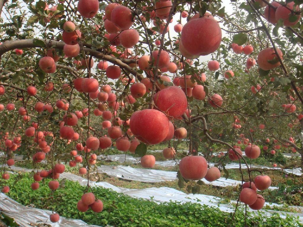 郑商所再次调整苹果期货的交易手续费