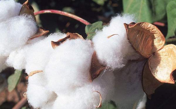棉花期货开户要求和条件