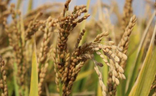 一手粳稻期货多少钱