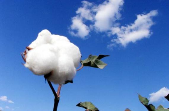 棉花期货交易时间是几点 棉花期货晚上几点开盘