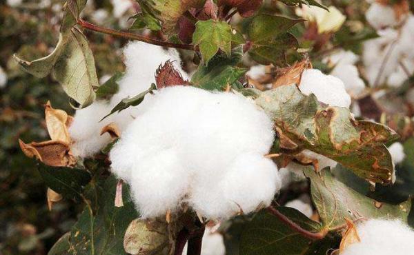 影响棉花期货价格的因素有哪些